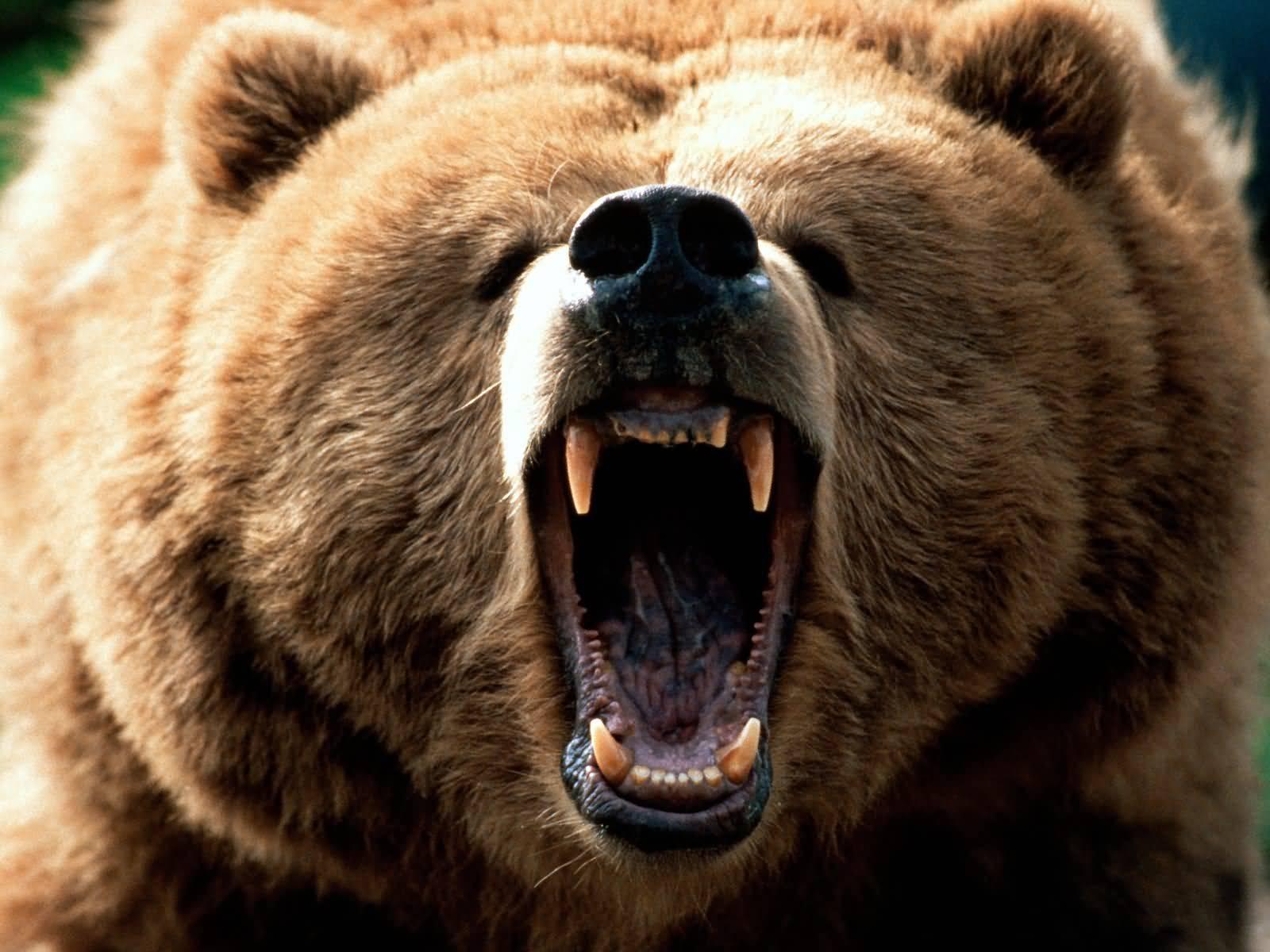 Kodiak Bear Vs Silver Back Gorilla Hell In A Cell Match
